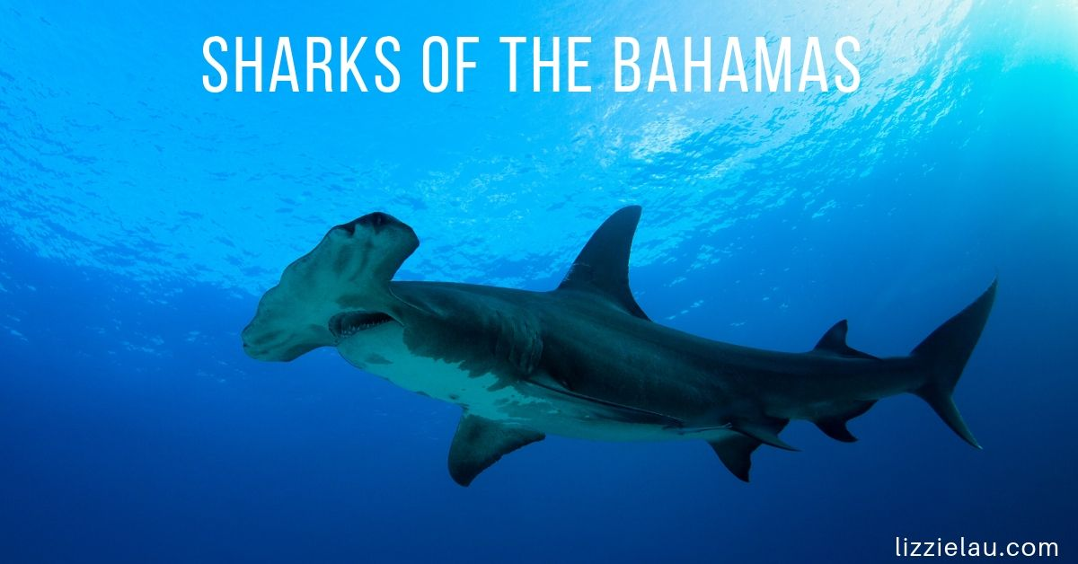 Sharks of The Bahamas - Hammerhead Shark