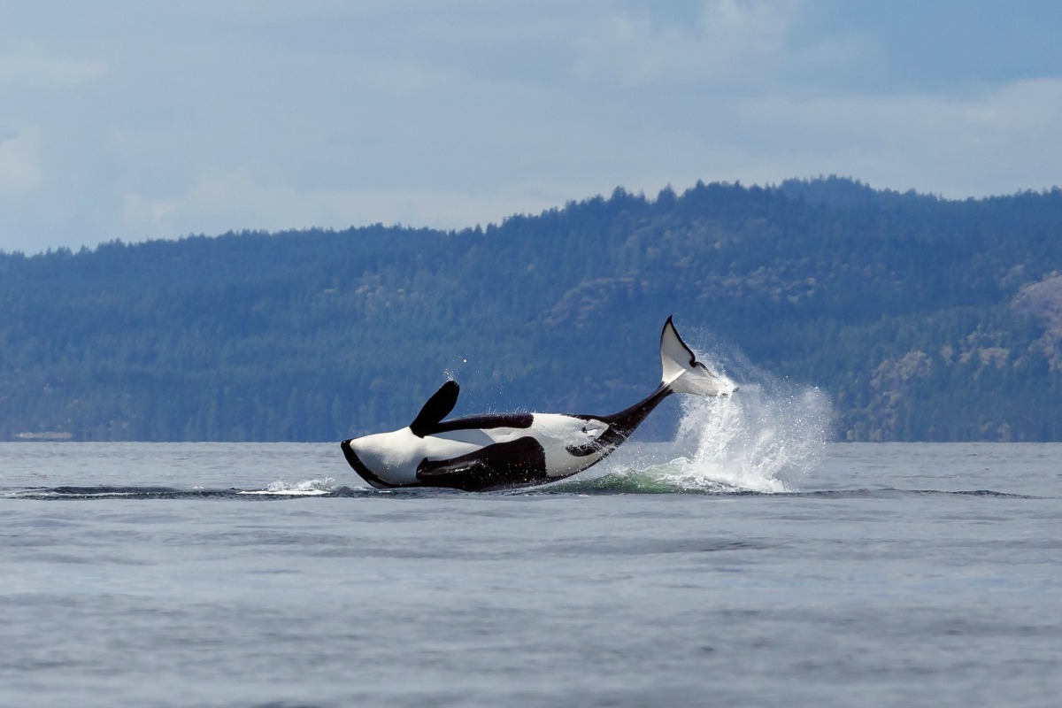 Orca Whale Watching Bellingham With Kids